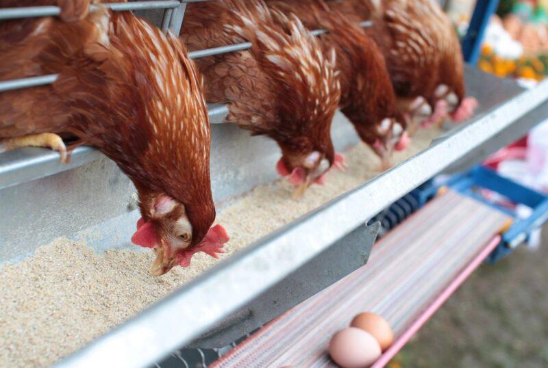 o ALAN HUDSON CHICKEN FARMER facebook 4418035 Cronos Asia