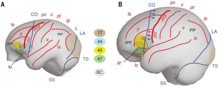 chelovecheskij mozg razvilsja ne bolee 17 milliona let nazad v Cronos Asia
