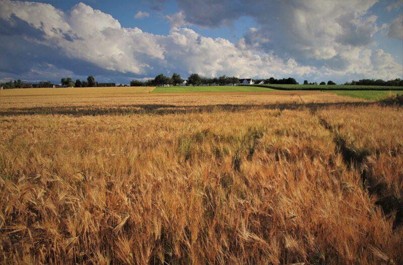 wheat 5354554 1280 Cronos Asia